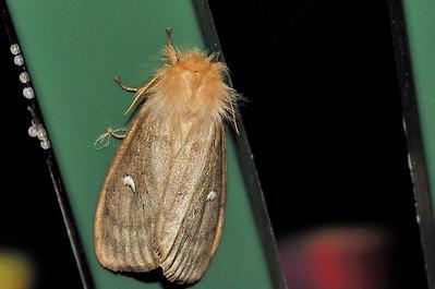 L. binotata, female. Mataranka Homestead, NT, Australia. April 2010