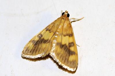 56 Unknown Moth. Mataranka Homestead, NT, Australia. April 2010