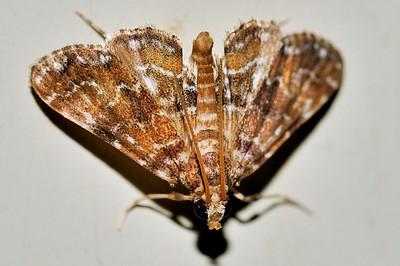 63 Unknown Moth. Mataranka Homestead, NT, Australia. April 2010