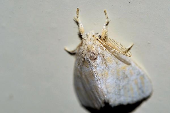 37 Unknown Moth. Mataranka Homestead, NT, Australia. April 2010