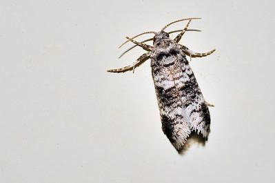 44 Unknown Moth. Mataranka Homestead, NT, Australia. April 2010