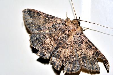 50 Unknown Moth. Mataranka Homestead, NT, Australia. April 2010