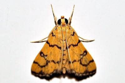 43 Unknown Moth. Mataranka Homestead, NT, Australia. April 2010