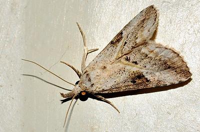 45 Unknown Moth. Mataranka Homestead, NT, Australia. April 2010