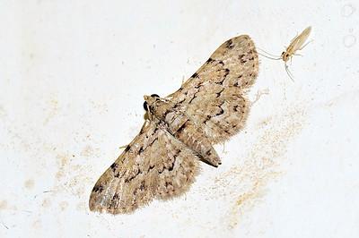 41 Unknown Moth. Mataranka Homestead, NT, Australia. April 2010