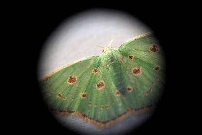 Comostola laesaria (Walker, 1861), Red-dotted Emerald Moth. Darwin, NT, Australia. July 2011