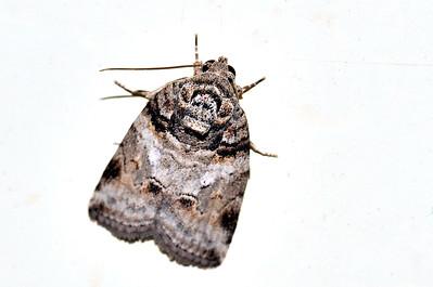 61 Unknown Moth. Mataranka Homestead, NT, Australia. April 2010
