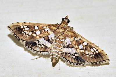 64 Unknown Moth. Mataranka Homestead, NT, Australia. April 2010