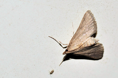 51 Unknown Moth. Mataranka Homestead, NT, Australia. April 2010