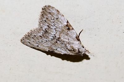 36 Unknown Moth. Mataranka Homestead, NT, Australia. April 2010
