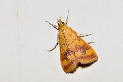40 Unknown Moth. Mataranka Homestead, NT, Australia. April 2010