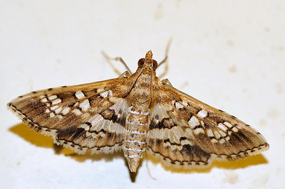 65 Unknown Moth. Mataranka Homestead, NT, Australia. April 2010