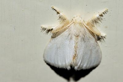 39 Unknown Moth. Mataranka Homestead, NT, Australia. April 2010