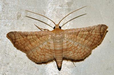 Thyrididae. Mataranka Homestead, NT, Australia. April 2010