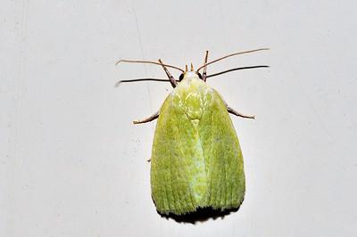 33 Unknown Moth. Mataranka Homestead, NT, Australia. April 2010