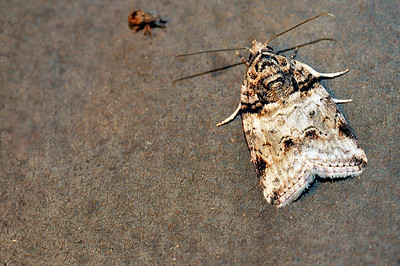 62 Unknown Moth. Mataranka Homestead, NT, Australia. April 2010