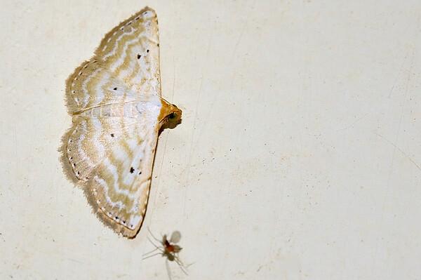 42 Unknown Moth. Mataranka Homestead, NT, Australia. April 2010