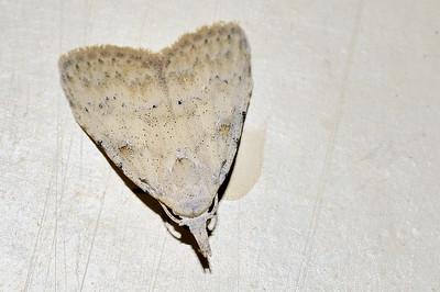 55 Unknown Moth. Mataranka Homestead, NT, Australia. April 2010