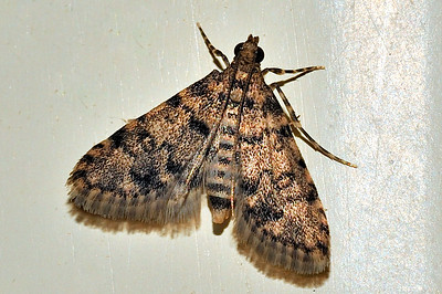 52 Unknown Moth. Mataranka Homestead, NT, Australia. April 2010