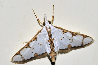 57 Unknown Moth. Mataranka Homestead, NT, Australia. April 2010
