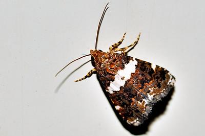 53 Unknown Moth. Mataranka Homestead, NT, Australia. April 2010