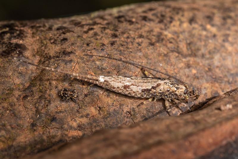 Rock bristletail (Nesomachilis spp.). Awatiro Farm, Waitomo.
