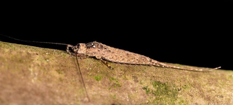 Rock bristletail (Nesomachilis spp.). Marokopa Falls Track, Waikato.