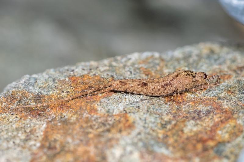 Rock bristletail (Nesomachilis spp.). Onamalutu Road, Blenheim.