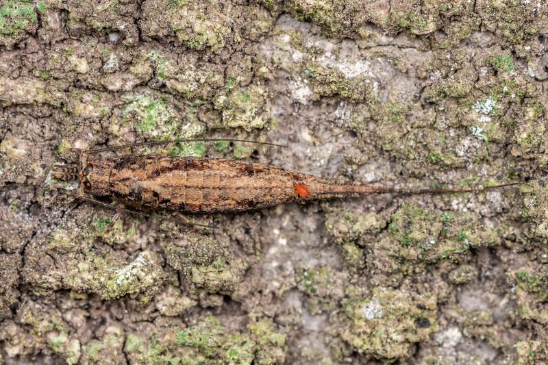 Rock bristletail (Nesomachilis spp.). Brook Waimarama Ecosanctuary, Nelson.