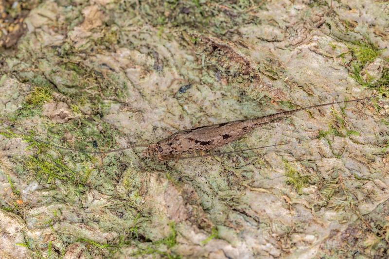 Rock bristletail (Nesomachilis spp.). Poukaria campsite, Whanganui River.