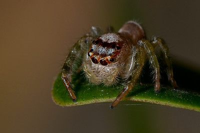 A jumping spider about to, errr, jump. He might not have eyes in the back of his head but he's got them everywhere else.