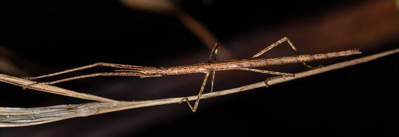 Stick insect (Asteliaphasma jucundum). Te Whare Okioki, Kaimai Range, Waikato.