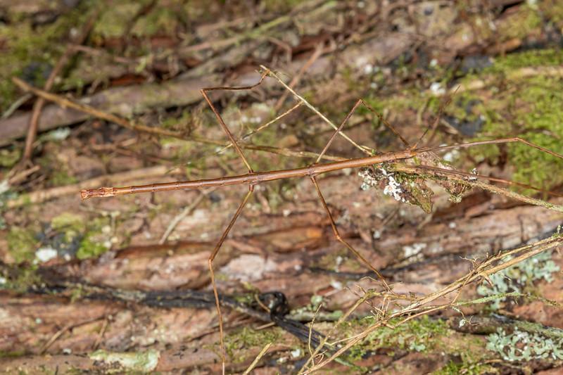 Stick insect (Asteliaphasma jucundum). Waipu Caves, Whangarei, Northland.