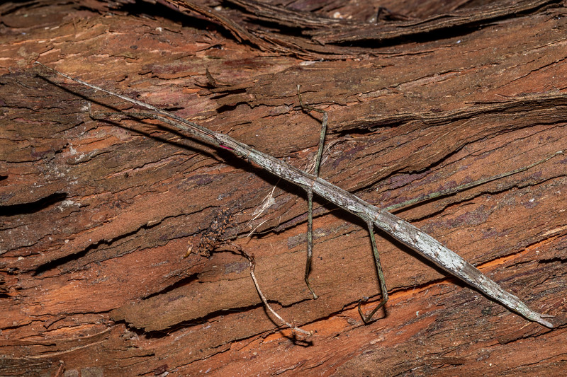 Smooth stick insect (Clitarchus hookeri). Opoho, Dunedin.