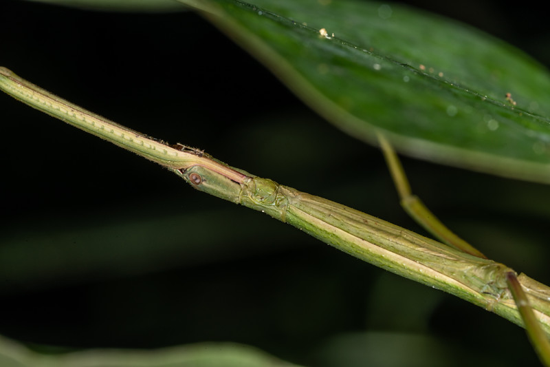Smooth stick insect (Clitarchus hookeri). Mohi Bush, Havelock North.