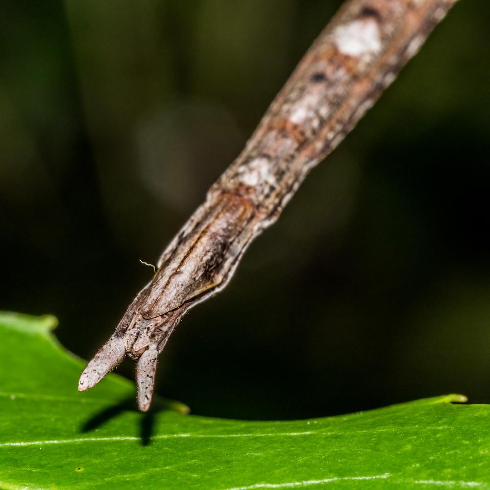 Smooth stick insect (Clitarchus hookeri) adult female. Hapuku Hut, Hapuku River, Seaward Kaikoura Range.