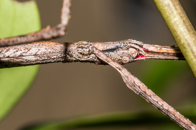 Smooth stick insect (Clitarchus hookeri) adult female. Hapuku Hut, Hapuku River, Seaward Kaikoura Range.