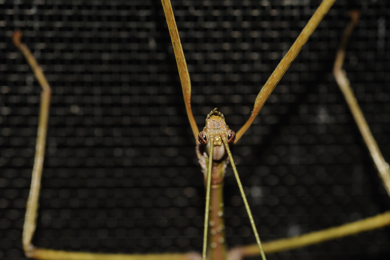 Stick insects. Darwin, NT, Austrlia. April 2010