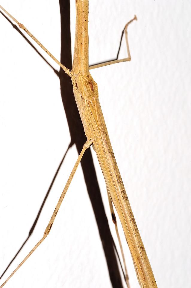 Stick insects. Darwin, NT, Austrlia. April 2014
