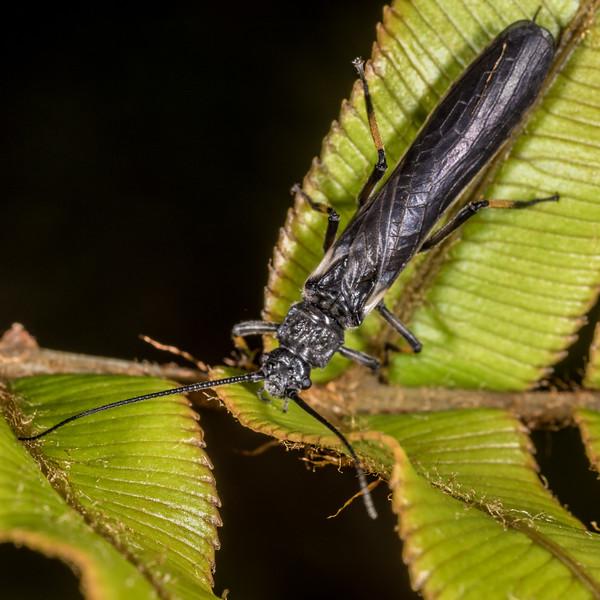 Black stonefly (Austroperla cyrene). Hauroko Burn, Dusky Track