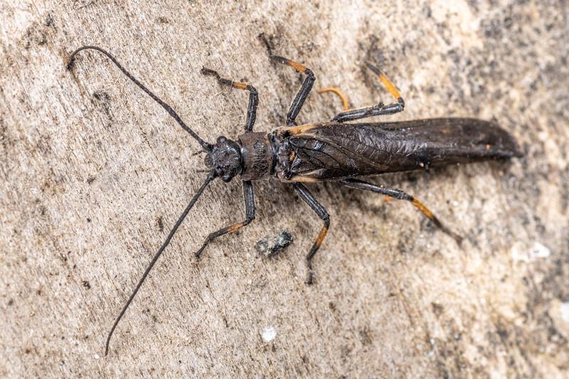 Black stonefly (Austroperla cyrene). Dawson Falls, Taranaki.