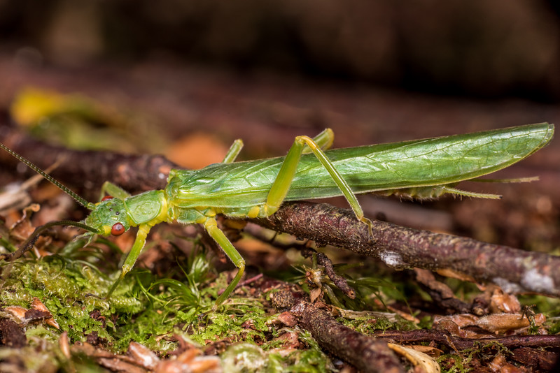 Large green stonefly (Stenoperla spp., probably Stenoperla prasina). Flora Hut, Kahurangi National Park.