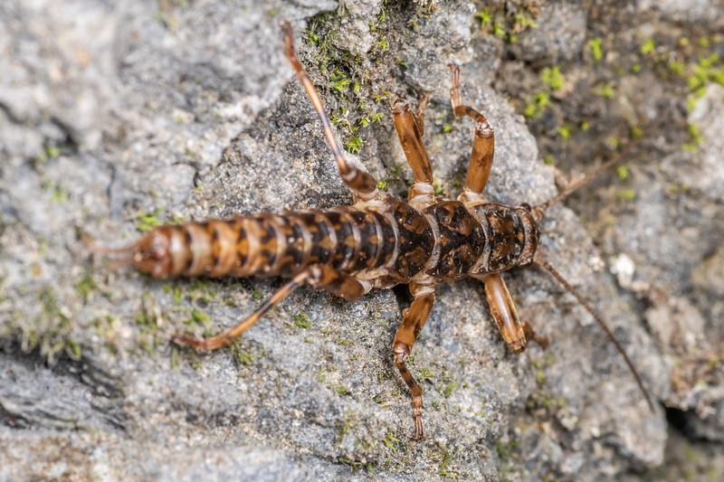 Wingless alpine stonefly (Probably Holcoperla or Apteryoperla). Poverty Basin, Mount Owen, Kahurangi National Park.
