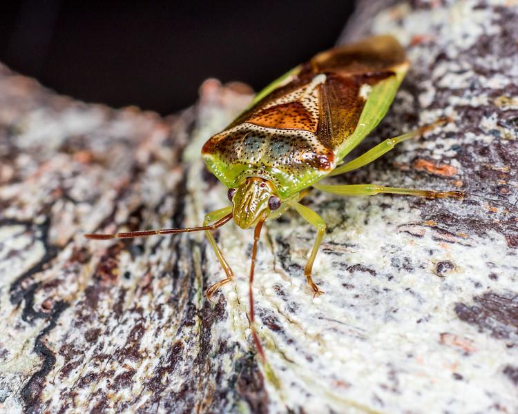 Forest shield bug (Oncacontias vittatus).  Lake Monk, Fiordland National Park.