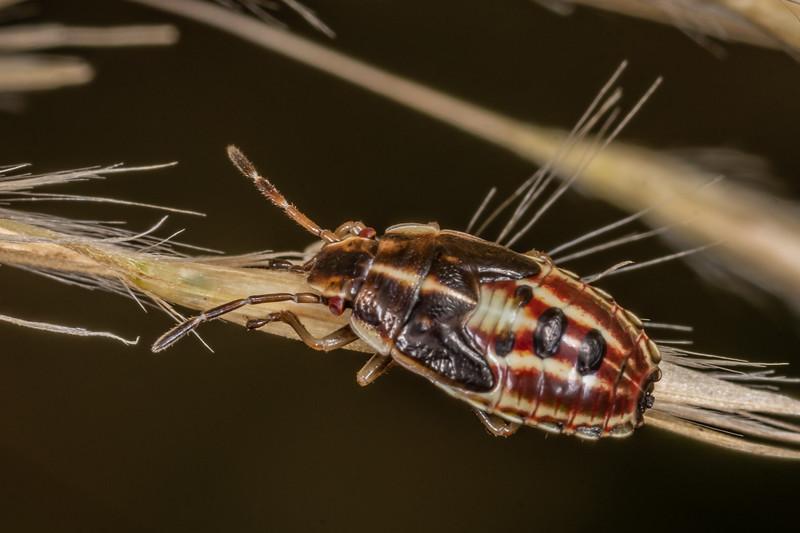 Linear sedge shield bug (Rhopalimorpha lineolaris), fifth instar. Sinclair Wetlands, Dunedin.