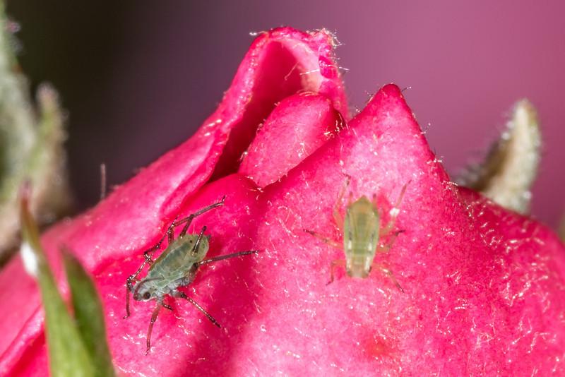 Rose aphid (Macrosiphum rosae). Opoho, Dunedin.