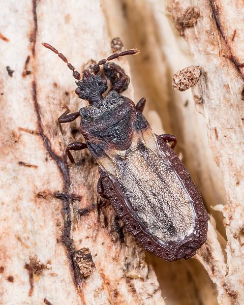 Flat bug (Aneurus brouni). Lake Monk, Fiordland National Park.