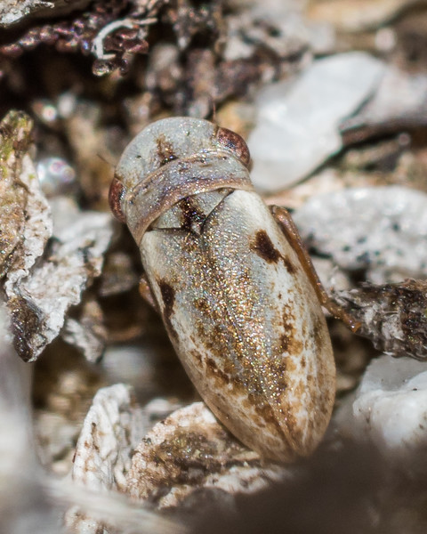 Alpine leafhopper (Novolopa maculata). Rugged Mount, Cameron Mountains, Fiordland National Park.
