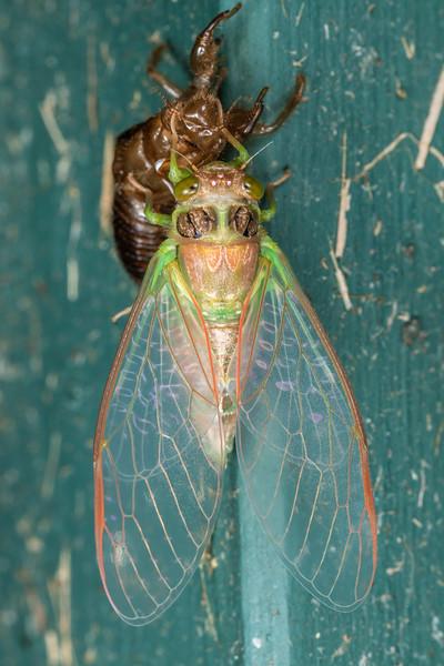 Emerging cicada (Family Cicadidae). Mohi Bush, Havelock North.