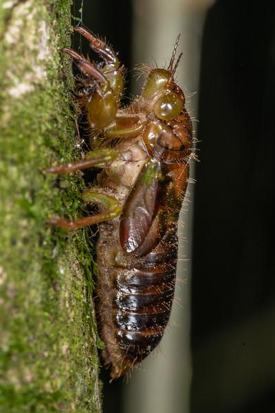 Cicada nymph (Family Cicadidae). Mohi Bush, Havelock North.